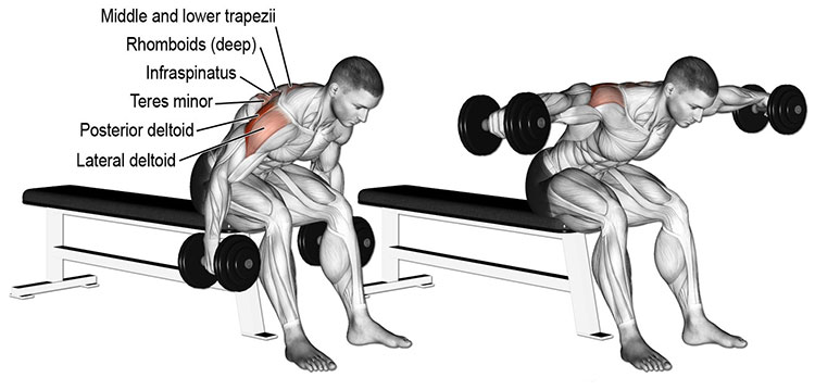 Seated dumbbell bent over lateral raise